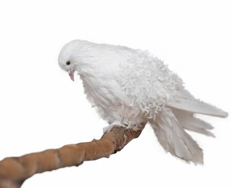 Beautiful White dove on an isolated background