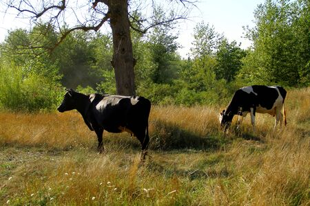 Two cows graze in a forest in a meadow