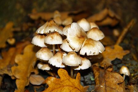 pale toadstool grows in the forest. close-up view.