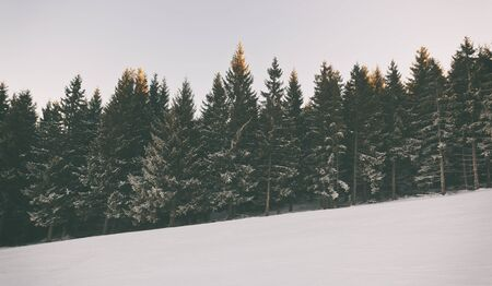 Beautiful firs in the mountains in the morning Banque d'images