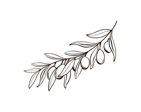 Sketch of isolated olive branches with berries. Black and white drawing of the symbol of Italy. For background, texture, pattern wrappers, frames or frames. Vector line art