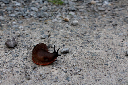 stony: A large and curious brown slug on a grey stony road, looking right with two antennae, side view