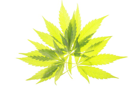 Cannabis leaves Stock Photo