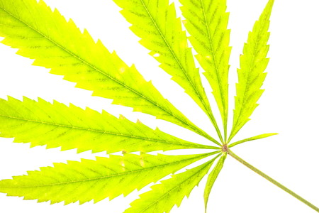 cannabis leaf silhouette on a white background Imagens