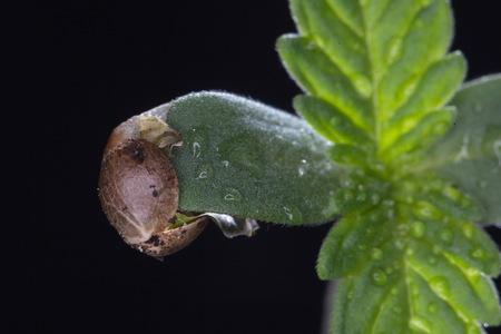 cannabis graan en spruit