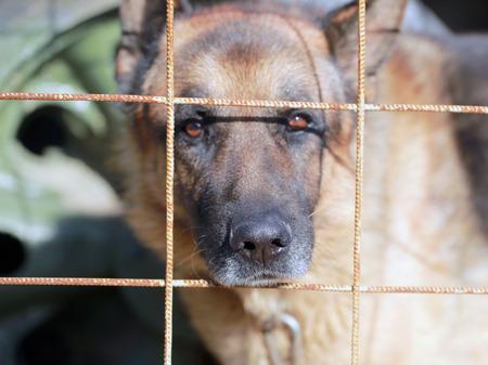 German Shepherd dog behind bars