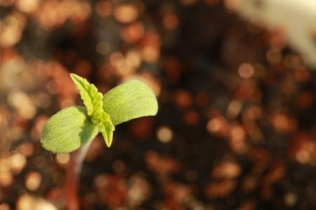 sprout hemp cannabis plant