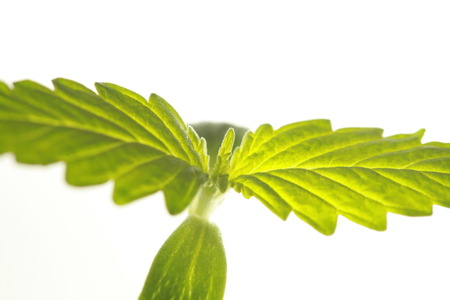 sprout hemp cannabis plant