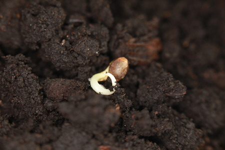 sprouted cannabis seeds Stock fotó