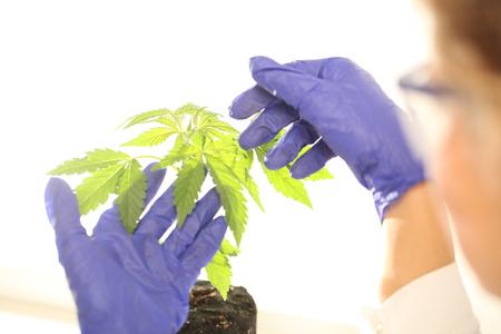 Plant in laboratory medical marijuana cannabis oil Stock fotó
