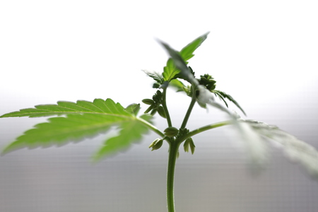 plantation medical cannabis . marijuana plant farm outdoor