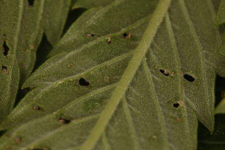 spider mite medical marijuana cannabis plant pests