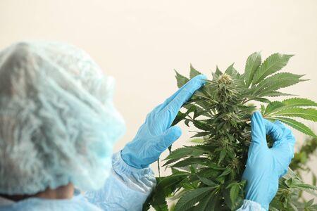 close up scientist hand gloves checking hemp plant . Concept herbal alternative medicine, cbd, pharmaceptical industry Reklamní fotografie