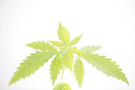 plant cannabis farm plantation medical marijuana hemp