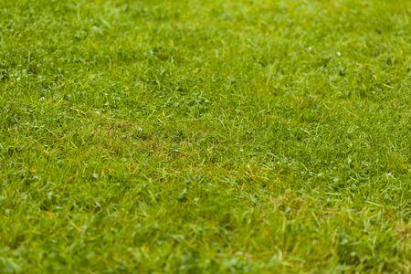 Not mowed green grass lawn beautiful background. Фото со стока