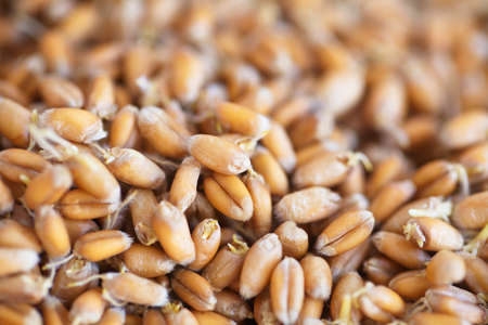 Dried grain wheat sprouts bio food