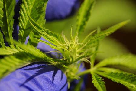 close up scientist hand gloves checking hemp plant. Concept herbal alternative medicine, cbd Imagens
