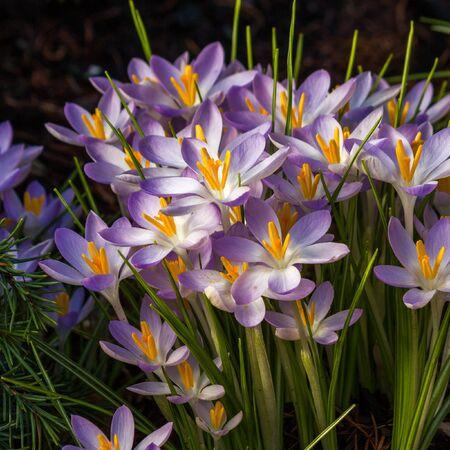 croci: Blooming violet Crocus at springtime