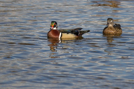 palmate: Beautifull male wood duck on the water in a lake with other birds