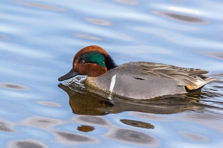 dabbling: Small dabbling duck Green Winged Teal on a water in the lake along Stock Photo