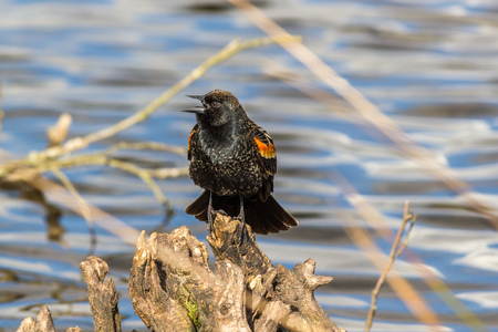 black feathered: A male Red-winged Blackbird Agelaius phoeniceus perched on a branch. Shot in Canada.