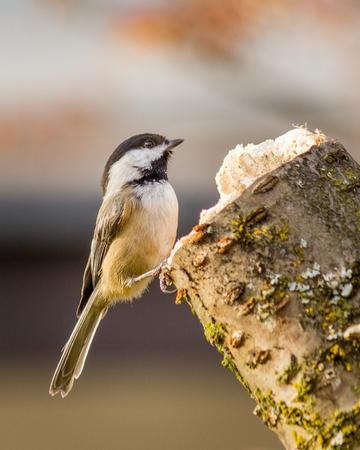 chickadee: Small bird Carolina Chickadee or Poecile carolinensis on a perch in spring with blury background