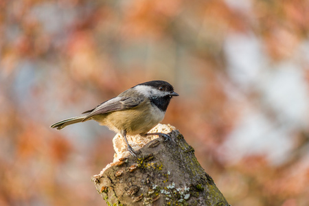 poecile: Small bird Carolina Chickadee or Poecile carolinensis on a perch in spring with blury background