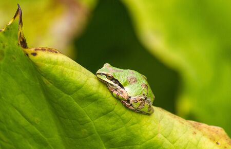 green tree frog: American Green Tree Frog rests on a leaf in a garden. Stock Photo