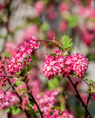 Small pink flowers on a bush in forest with blure background stock small pink flowers on a bush in forest with blure background stock photo 75195929 mightylinksfo