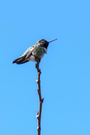 small hummingbird bird on the branch against clean blue sky