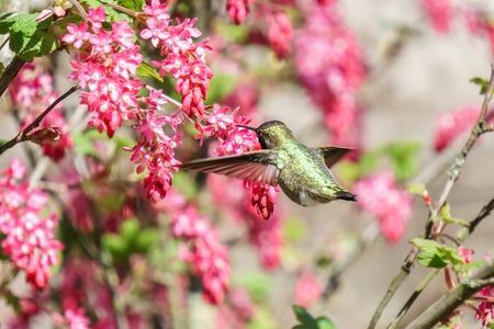 small green hummingbird bird near the flowers on blury background Stock Photo