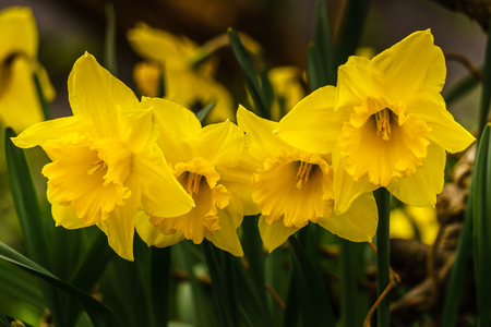 Many yellow daffodil narcissus flower blure background