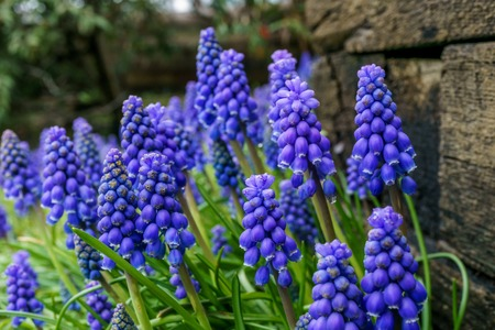 A muscari neglectum flower known as common grape hyacinth with blurry background