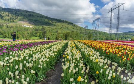 Een veld van veelkleurige tulpen land boerderij