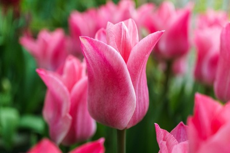 horticultural: Multicolored tulips outside in parks and country farm