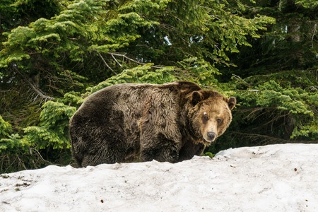 North American Grizzly Bear in snow at spring in Western Canada Stock Photo