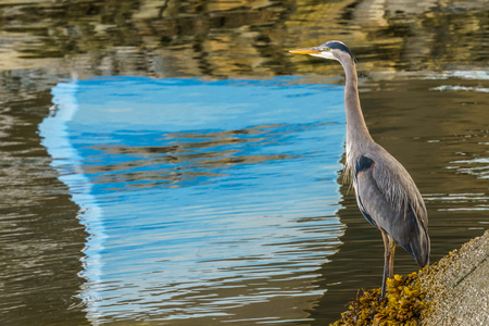 Great Blue Heron standing near the water - Vancouver Canada