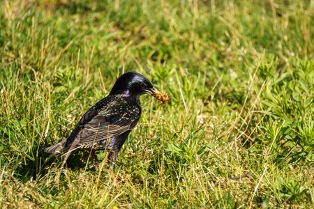 perched: Common Starling Sturnus Vulgaris on the green field eating bugs
