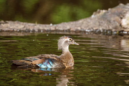 Female gray-brown wood duck on the lake at summer time Stock Photo