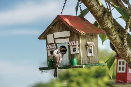 Close-up of a blue tomtit at a birdhouse feeding cheeper
