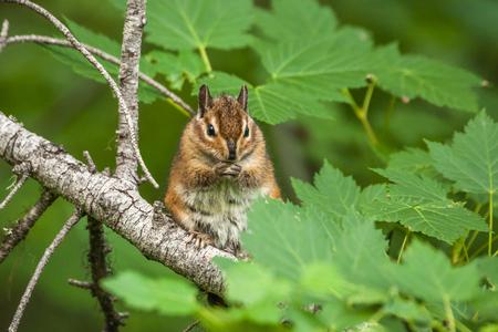 ardilla: chipmunk on the tree with green leaves Foto de archivo