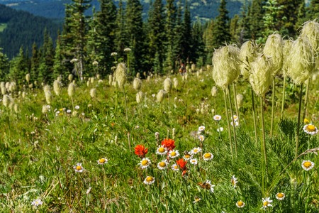 beautiful landscape of alpine field fresh green meadows and blooming flowers and forest green mountain tops in the background on a sunny day Stock Photo