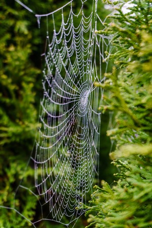 Beautiful spiderweb covered in glistening drops of dew on green tree in the background