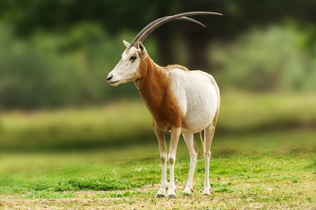 Scimitar horned oryx animal in zoo or farm Фото со стока