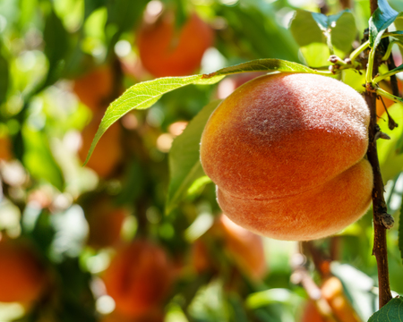 Ripe fresh peaches growing in peach tree with green leaves