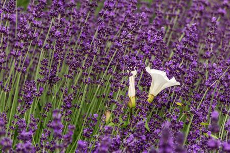 Lavender flower violet Lavandula flowers in nature with copy space Foto de archivo