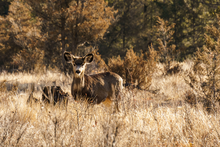 White-tailed or Virginia Deer wild animal in the spring forest british columbia canada