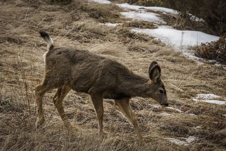 beautiful wild White-tail Deer in a Field early spring in east of british columbia