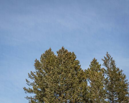 evergreen pine trees against the sky on a sunny day
