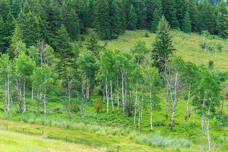 Aspen Trees nice summer morning in green valley british columbia Canada